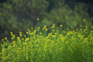 菜の花の写真素材 [FYI02015387]