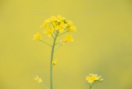 一輪の菜の花の写真素材 [FYI02015402]