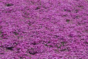 一面の芝桜の写真素材 [FYI02015431]