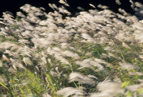 風になびくススキの写真素材 [FYI02015495]