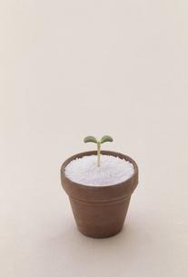 植木鉢にフタバの写真素材 [FYI02015557]