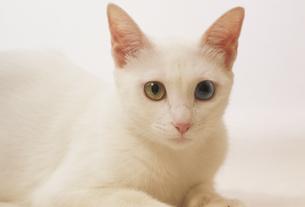 白猫の写真素材 [FYI02015621]