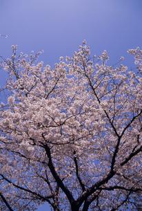 サクラと青空の写真素材 [FYI02015625]