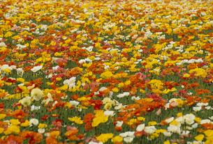 アイスランドポピー畑の写真素材 [FYI02015654]