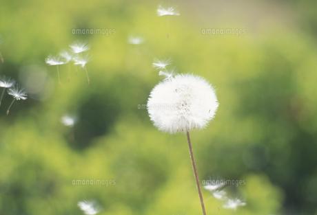 タンポポの綿毛の写真素材 [FYI02015689]