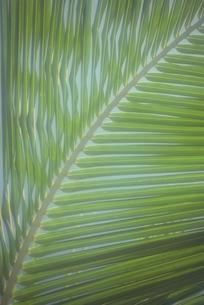 ヤシの葉の写真素材 [FYI02015806]
