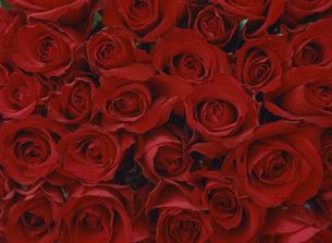 赤いバラの写真素材 [FYI02015832]
