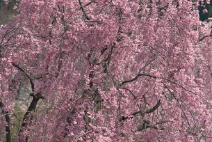 紅シダレサクラの写真素材 [FYI02015849]