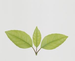 3枚の葉  カシの木の一種の写真素材 [FYI02015884]