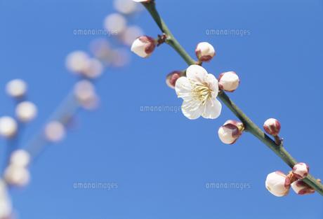 ウメと青空の写真素材 [FYI02015935]