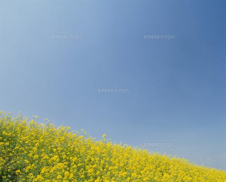 菜の花畑と青空の写真素材 [FYI02015974]