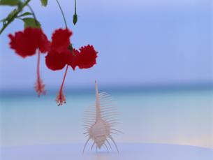 骨貝とハイビスカスの写真素材 [FYI02016076]