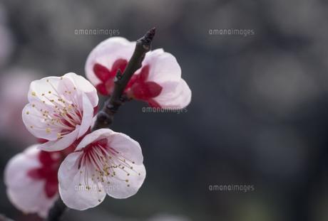 ウメの花の写真素材 [FYI02016111]