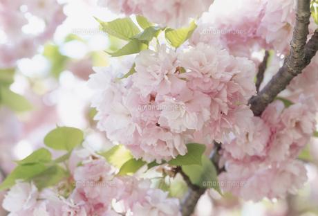 ヤエザクラ 福岡城内の写真素材 [FYI02016166]
