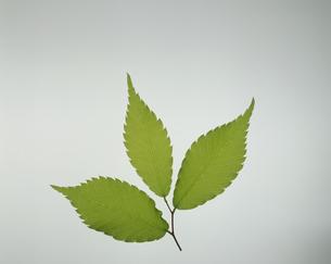 3枚の葉  ケヤキの写真素材 [FYI02016229]