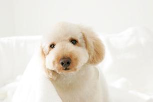タオルにくるまる可愛い犬の写真素材 [FYI02021244]