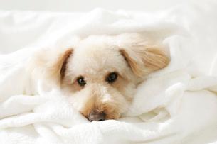 タオルにくるまる可愛い犬の写真素材 [FYI02023707]