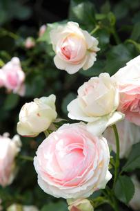 可憐なバラの花の写真素材 [FYI02025055]