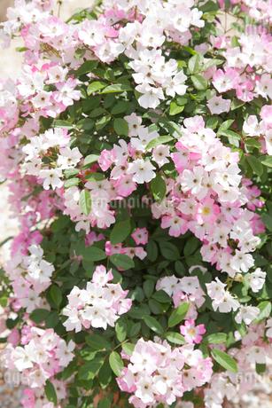可憐なバラの花の写真素材 [FYI02025082]