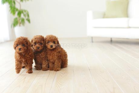 リビングでくつろぐ3匹のトイプードルの子犬の写真素材 [FYI02025342]