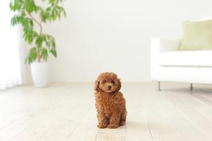 リビングに座るトイプードルの子犬の写真素材 [FYI02025477]