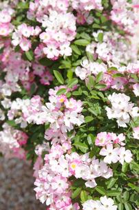 可憐なバラの花の写真素材 [FYI02027629]