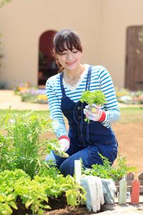 家庭菜園で野菜を収穫する女性の写真素材 [FYI02027662]