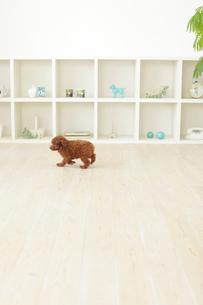 子犬が歩くリビングルームの背景素材の写真素材 [FYI02027795]