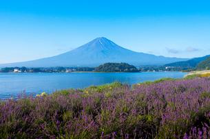 河口湖大石公園のラベンダーと富士山の写真素材 [FYI02028396]