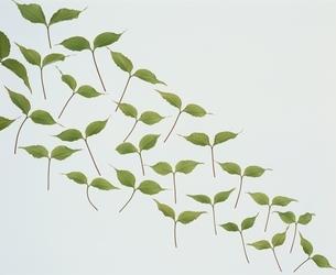 並んだ葉の写真素材 [FYI02028479]