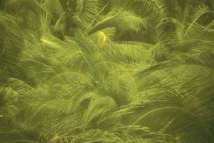 ヤシの木林の写真素材 [FYI02028567]