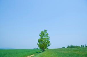 新緑の草原に一本の木の写真素材 [FYI02028742]