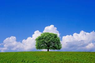 青空の草原に立つ一本の木の写真素材 [FYI02028761]