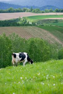 緑の草原に牛の放牧の写真素材 [FYI02028763]