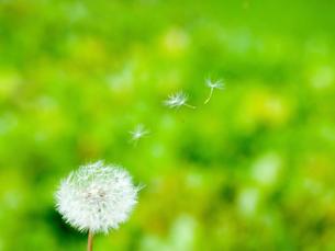 風に舞うタンポポの綿毛の写真素材 [FYI02028767]