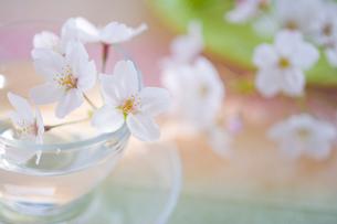ティーカップにアレンジされた桜の花びらの写真素材 [FYI02028769]