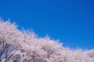 青空と桜の写真素材 [FYI02028772]