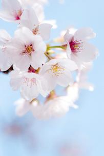 桜の花の写真素材 [FYI02028783]