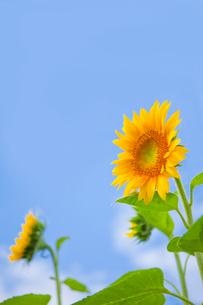青空とヒマワリの写真素材 [FYI02028791]