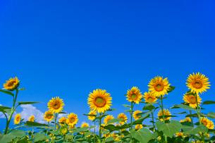 青空とヒマワリ畑の写真素材 [FYI02028796]