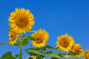 青空とヒマワリ畑の写真素材 [FYI02028801]