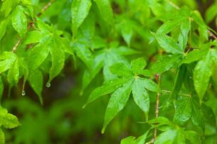 雨に濡れるもみじの葉の写真素材 [FYI02028870]