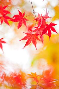 紅葉の写真素材 [FYI02028913]