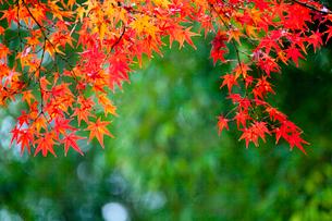 紅葉の写真素材 [FYI02028981]