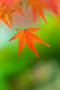 紅葉の写真素材 [FYI02028992]