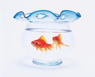 金魚鉢の中の金魚の写真素材 [FYI02029080]