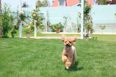 芝生の庭を走る犬の写真素材 [FYI02029096]