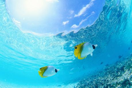 海を泳ぐチョウチョウウオの写真素材 [FYI02029169]