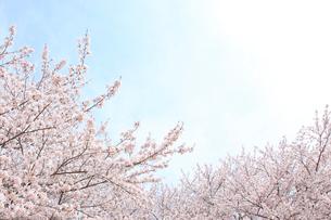 満開の桜の花と青空の背景素材の写真素材 [FYI02029170]