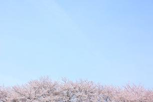 満開の桜の花と青空の背景素材の写真素材 [FYI02029189]